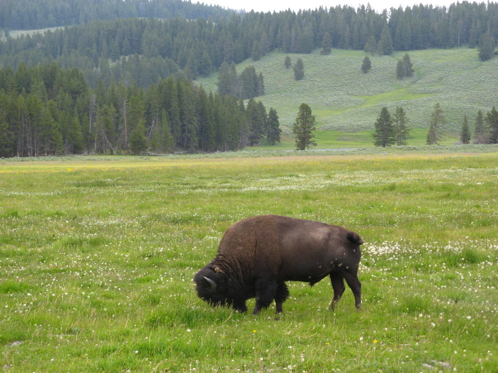 """Perform a web search for """"yellowstone buffalo gored."""""""