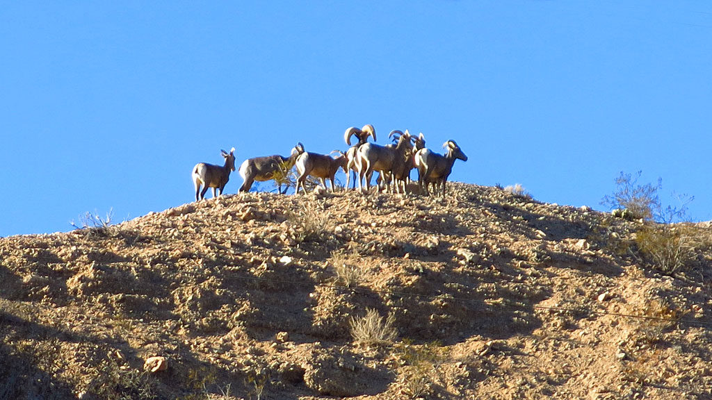 On the way out of Afton Canyon on Sunday morning, we bumped into a small herd of Desert Bighorn Sheep -- they looked well-fed and healthy.