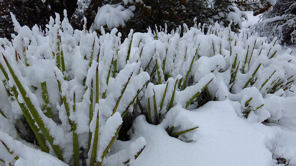High desert plants are very tolerant of the snow - any water is good water.
