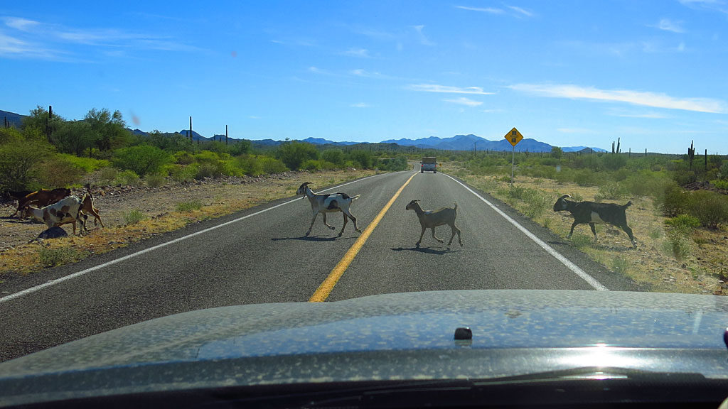 Goat season in Baja. Here, a flock migrates from over there to over there, with little regard to highway traffic.
