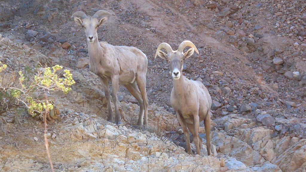 Desert Longhorn Sheep in Afton Canyon.