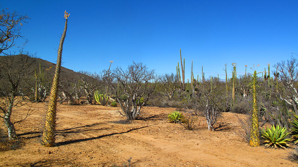 Boojum Trees in the central Baja desert.