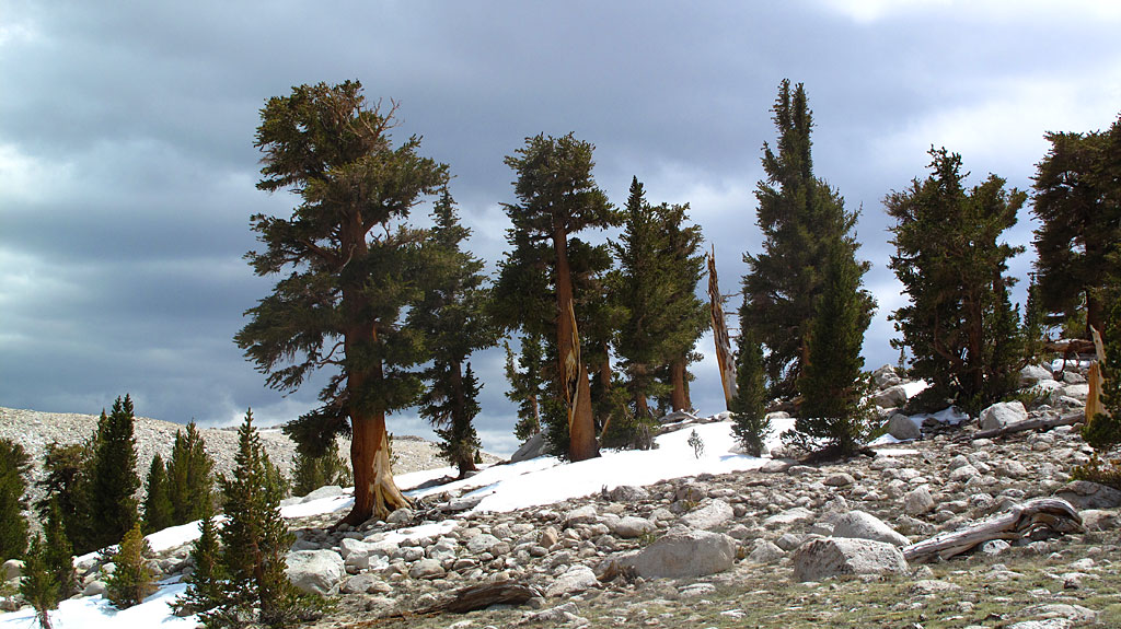 The trees at timberline appeared to have had a rough life.
