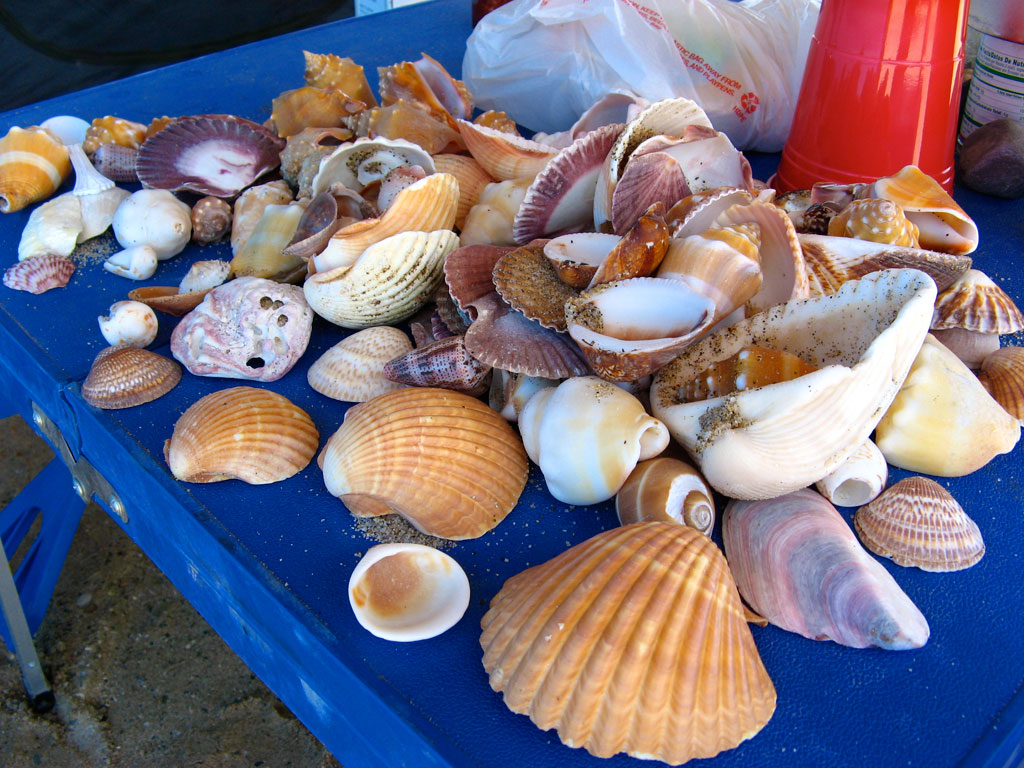 Carol collected shells on her daily beach walks - this was her stash after just a few days.