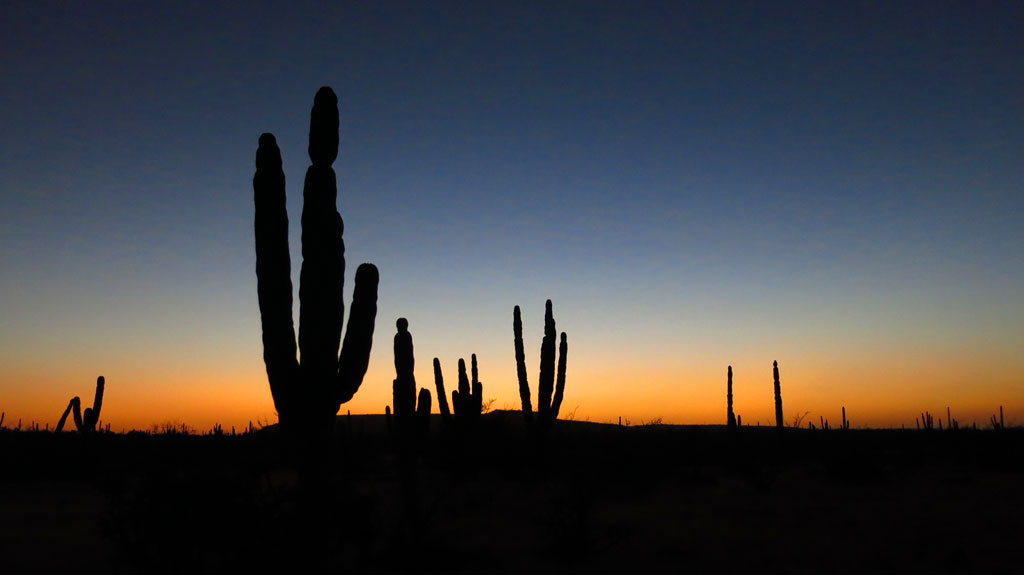 Cardón cactus silhouetted in the Baja sunset, south of San Ignacio.