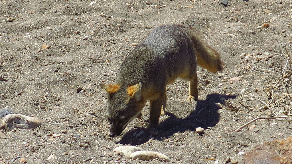 Our last sighting of an Island Fox on the beach, just before boarding the boat for the return trip to Ventura.