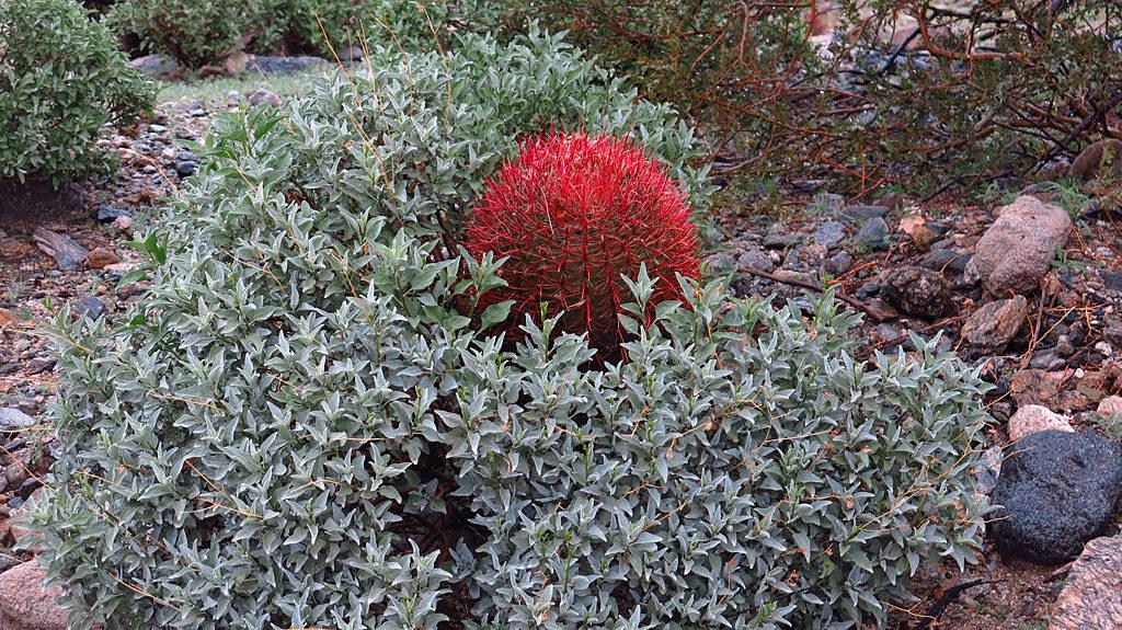 Desert rains bring happy red barrel cactus.