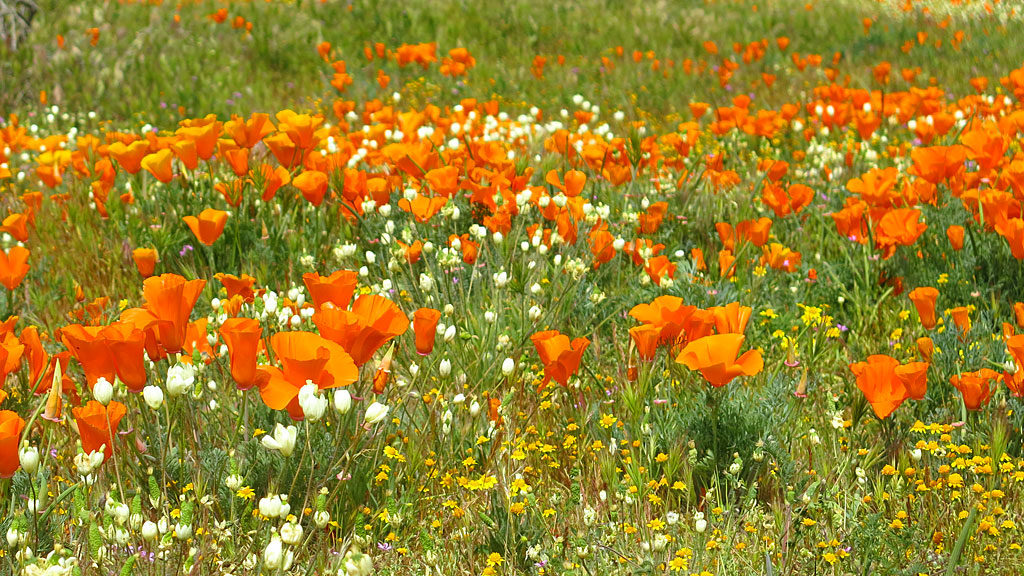 The California Poppy dominates the desert floor.